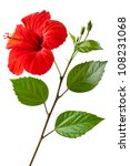 flowering hibiscus. isolated on ... | Shutterstock . vector #108231068