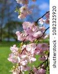 cherry sakura flowers | Shutterstock . vector #1082325920