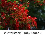 Small photo of Red flame tree flowers that bloom all together on all trees of an area creates a beautiful view for the eyes