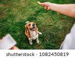 Beagle Dog Waiting For The Foo...