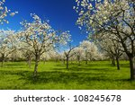 Apple Orchard In The Middle Of...