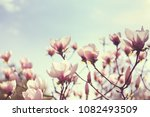 blooming flowers of magnolia on ... | Shutterstock . vector #1082493509