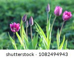 violet flowers of tulips with... | Shutterstock . vector #1082494943