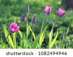 violet flowers of tulips with... | Shutterstock . vector #1082494946