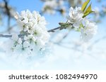 flowering cherry branches... | Shutterstock . vector #1082494970