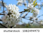 flowering cherry branches... | Shutterstock . vector #1082494973