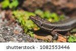 beautiful lizard closeup  macro ...   Shutterstock . vector #1082553446