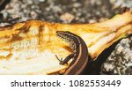 beautiful lizard closeup  macro ...   Shutterstock . vector #1082553449