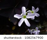 Oxalis Triangularis A. Purple...