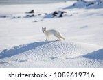 Arctic fox  spitsbergen
