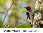 Red Headed Woodpecker On A Tree
