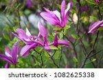 magnolia flowers  pink spring... | Shutterstock . vector #1082625338