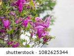 magnolia flowers  pink spring... | Shutterstock . vector #1082625344
