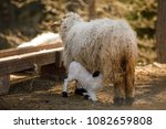 goat nursing her baby goat in...   Shutterstock . vector #1082659808