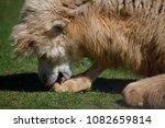 camel cuddling his leg in...   Shutterstock . vector #1082659814