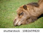 camel eating grass in private...   Shutterstock . vector #1082659820