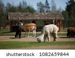 alpacas grazing in private zoo...   Shutterstock . vector #1082659844