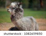 alpaca resting in private zoo   Shutterstock . vector #1082659850