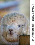 alpaca in private zoo   Shutterstock . vector #1082659874