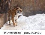 bengal tiger or panthera tigris ... | Shutterstock . vector #1082703410