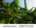 Banana Cultivation In The...