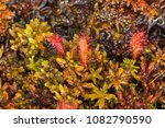 drosera anglica  commonly known ...   Shutterstock . vector #1082790590