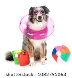 Stock photo australian shepherd in front of white background 1082795063