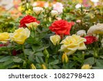 Stock photo yellow bud rose in a rose garden 1082798423