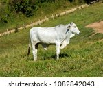 white ox on green pasture  ... | Shutterstock . vector #1082842043