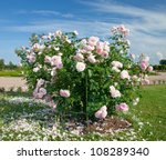 White Pink Rose Bush