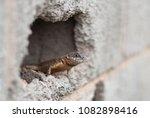 lizard in brazil | Shutterstock . vector #1082898416