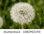 macro close of a dandelion | Shutterstock . vector #1082902193