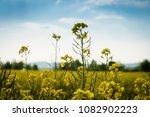 rape field on a sunny day | Shutterstock . vector #1082902223