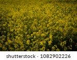 rape field on a sunny day | Shutterstock . vector #1082902226