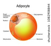adipocyte. structure of a... | Shutterstock .eps vector #1082908844