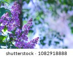 lilac in violet toning ...   Shutterstock . vector #1082918888