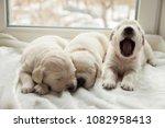 Stock photo three puppies breed golden retriever sleeping on the windowsill one puppy yawns 1082958413