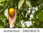 person picks oranges from the... | Shutterstock . vector #1082960276