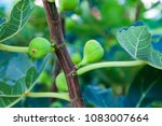 fig fruits on the branch tree...   Shutterstock . vector #1083007664