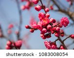 pink plum blossom blossoming in ...   Shutterstock . vector #1083008054