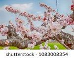 pink blossom sakura flowers on...   Shutterstock . vector #1083008354