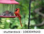 bright red male northern... | Shutterstock . vector #1083049643