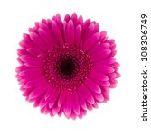 Pink Daisy Flower Isolated On...