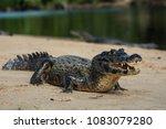 a large caiman  caiman... | Shutterstock . vector #1083079280