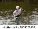 solitary pelican resting on a... | Shutterstock . vector #1083099590