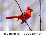 Red Cardinal Bird Perched On...