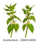 lamium album  commonly called...   Shutterstock . vector #1083116003