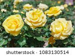 Stock photo beautiful bush of yellow roses in a spring garden rose garden 1083130514