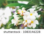 frangipani  plumeria  on the... | Shutterstock . vector #1083146228