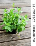 mint or balm mint in pot on... | Shutterstock . vector #1083161459
